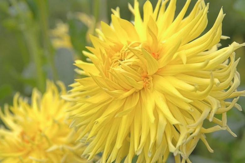 Dahlia Yellow Star, Yellow Star Dahlia, Semi-Cactus Dahlias, Dahlias for cutting, Yellow Dahlias, summer bulbs, Cream Dahlias