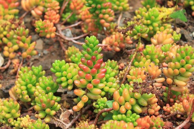 Sedum × rubrotinctum, Jellybean Plant, Christmas Cheer, Pork and Beans, Yellow Sedum, Red Sedum, Succulent, AGM Sedum