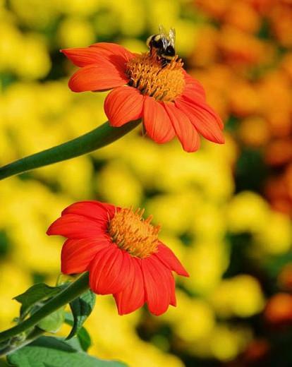Tithonia Rotundifolia, Mexican Sunflower, goldflower of the Incas, Mexican Marigold, Tithonia Speciosa, Tithonia Fiesta del Sol, Tithonia Torch, annual plant, Annual Plants