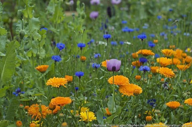 Centaurea Cyanus, Cornflower, Witches' Bells, Ragged Robin, Happy Skies, Haw Dods, Hurtsickle, French Pink, Brushes, Bunk, Blue Tops, Bluets, Blawort, Ragged Sailor, Cornbottle, Corn Centaury, Break-Your-Spectacles, Blue Bow, Blue Poppy, Blue Bonnets, Blu