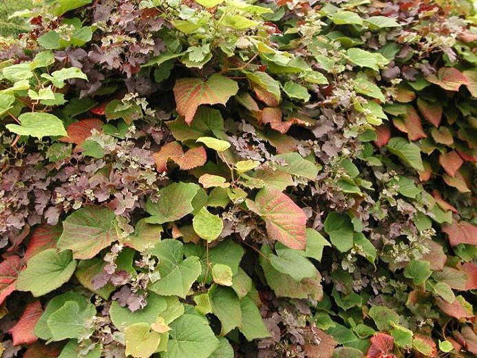 Vitis Coignetiae, Crimson Glory Vine, Grape Vines, Fall color, Red Leaves