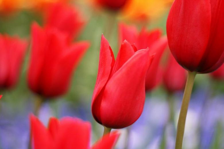 Tulipa Red Shine, Tulip 'Red Shine', Lily-Flowered Tulip 'Red Shine', Lily-Flowering Tulip 'Red Shine', Lily-Flowered Tulips, Spring Bulbs, Spring Flowers, Tulipe Red Shine, Red tulips, Red lily-flowered tulips