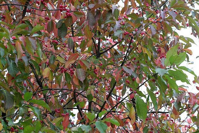 Euonymus Atropurpureus, Eastern Wahoo, Burning Bush, shrubs, fall color, shrub with berries, red leaves