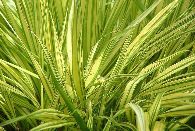 Hakonechloa Macra Aureola, Hakone Grass 'Aureola', Japanese Forest Grass 'Aureola', Shade grasses, Aureola Grass, part shade grass, full shade grass, Japanese grass, Golden Japanese Forest Grass