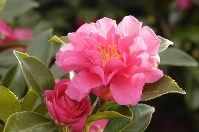 Camellia Sasanqua 'Shishigashira', Camellia 'Shishigashira', 'Shishigashira' Camellia, Camellia 'Lion's Head', Camellia 'Beni-Kantsubaki', Fall Blooming Camellias, Winter Blooming Camellias, Early Season Camellias, Pink Camellia, Red Camellia
