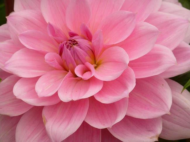 Dahlia 'Pearl of Heemstede','Pearl of Heemstede' Dahlia, Water Lily Dahlias, Waterlily Dahlias, Pink Dahlias, Dahlia Tubers, Dahlia Bulbs, Dahlia Flower, Dahlia Flowers, summer bulbs