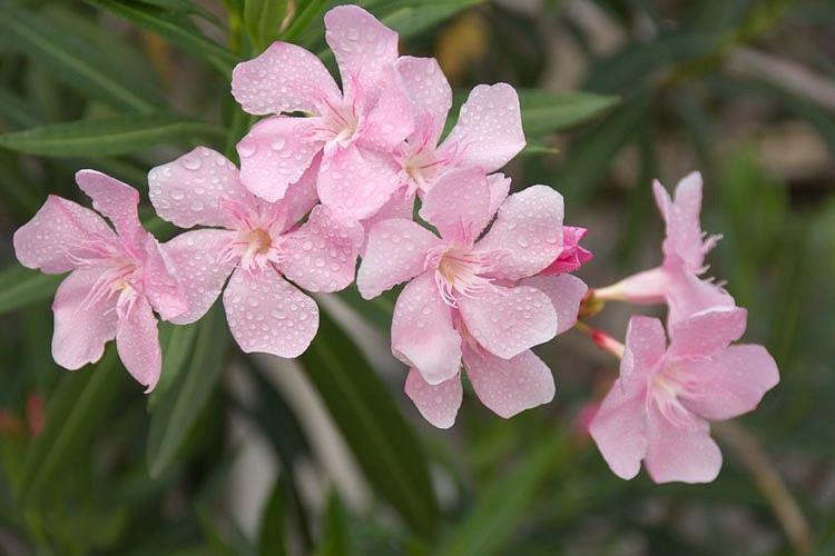 Nerium Oleander Hardy Pink Oleander