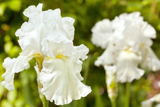 Iris Immortality growing information, Bearded iris 'Immortality growing information, Iris Germanica Immortality, Reblooming irises, Fragrant irises, White irises, Award Irises