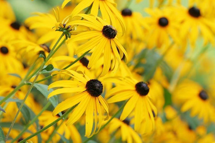 Echinacea Paradoxa, Yellow Coneflower, Bush's Purple Coneflower, Ozark Coneflower, Yellow Echinacea, Coneflower, Cone flowers, Coneflowers