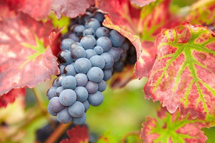Vitis 'Regent', Grape Vine 'Regent', Vitis vinifera 'Regent', Grape Vines, Fall color, Ornamental Grape Vines, Red Grapes