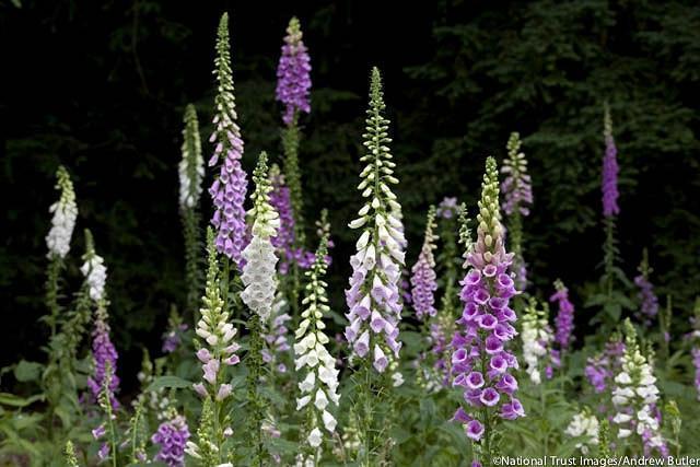 Digitalis Purpurea, Common Foxglove, Foxglove, Purple Foxglove, Lady's Glove,