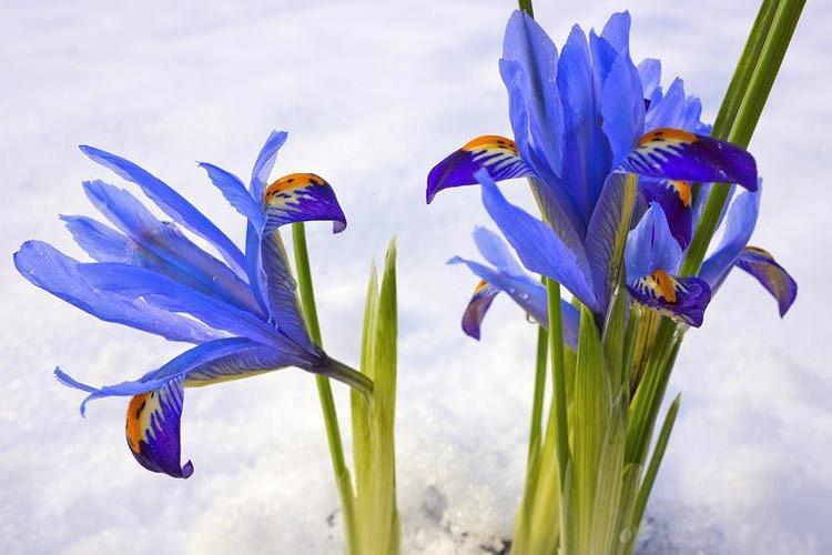 Iris 'Gordon', Dwarf Iris 'Gordon', Iris reticulata 'Gordon', Iris reticulata, Dwarf iris, Early spring Iris,Purple flowers, Purple iris,Blue flowers, Blue iris