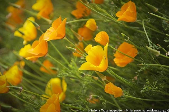Eschscholzia Californica, California Poppy, Golden Poppy, California Sunlight, Cup of Gold, Golden Cup, California Poppies, Yellow flowers