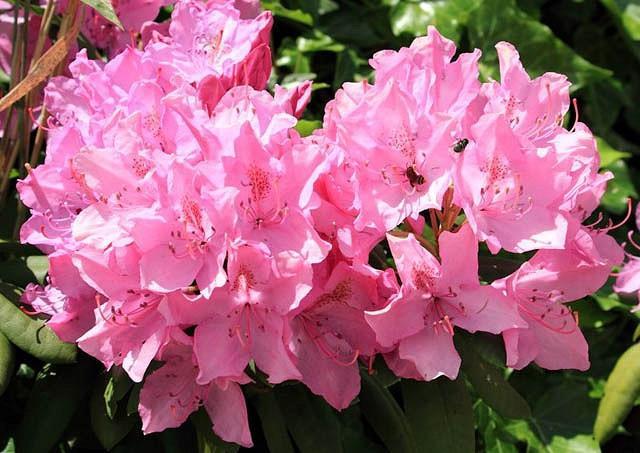 Rhododendron 'Olga Mezitt', Rhododendron 'Olga Mezzitt', pink flowers, pink rhododendron, pink flowering shrub