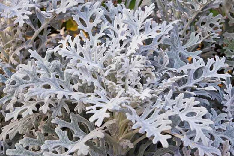 Jacobaea maritima, Dusty Miller, Silver Ragwort, Senecio bicolor subsp. cineraria, Senecio cineraria, Senecio maritimus, Cineraria maritima, Othonna maritima, Gray Perennial
