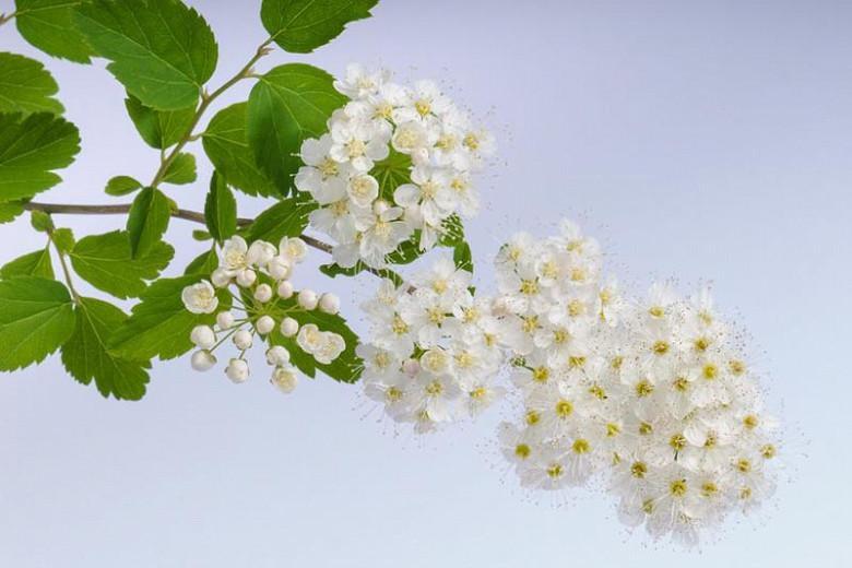 Spiraea × vanhouttei, (Spirea), Vanhoutte Spirea, Bridalwreath, White Flowers, Bridal Wreath Spirea