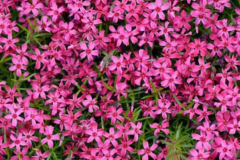 Phlox Subulata 'Scarlet Flame', Phlox 'Scarlet Flame', Alpine Phlox 'Scarlet Flame', Moss Phlox 'Scarlet Flame', Creeping phlox 'Scarlet Flame', Pink Phlox, Pink flowers