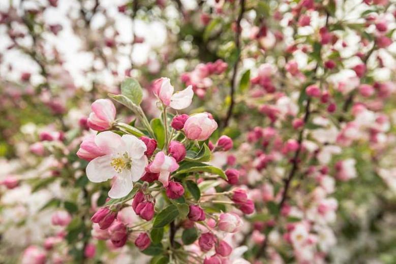 Malus 'Adirondack', Crabapple 'Adirondack', Crab Apple 'Adirondack', Malus Admiration, Malus 'Admiration', Fragrant Tree, Red fruit, red berries, Winter fruits