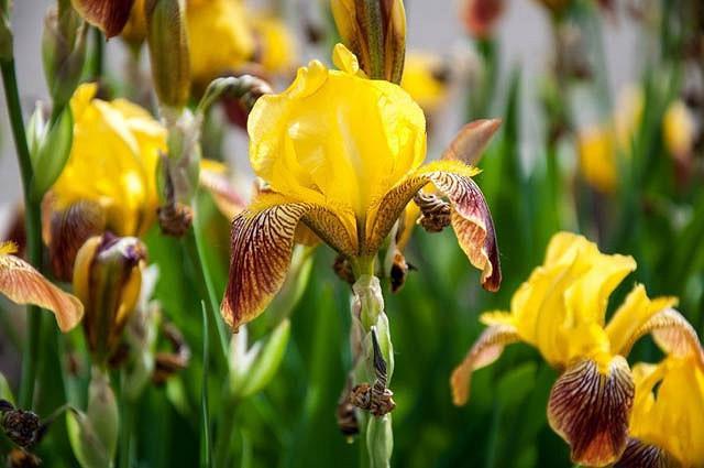 Iris 'Rajah', Tall Bearded Iris 'Rajah', Iris Germanica 'Rajah', Iris 'Rajah Brooke', Late Season Irises, Bicolor irises, Award Irises, Yellow Irises
