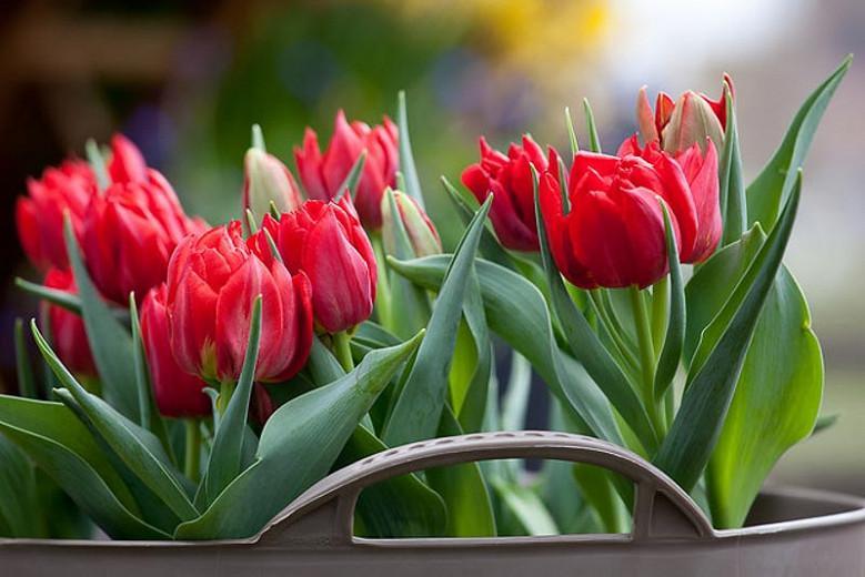 Tulipa 'Abba',Tulip 'Abba', Double Early Tulip Abba', Double Early Tulips, Spring Bulbs, Spring Flowers,Tulipe Abba,Double Red Tulip, Red Tulip