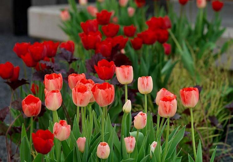 Tulipa Bastogne,Tulip 'Bastogne', Triumph Tulip 'Bastogne', Triumph Tulips, Spring Bulbs, Spring Flowers, Tulipe Bastogne, Red Tulips, Tulipes Triomphe, Mid spring tulips, Late spring tulips, sturdy tulips