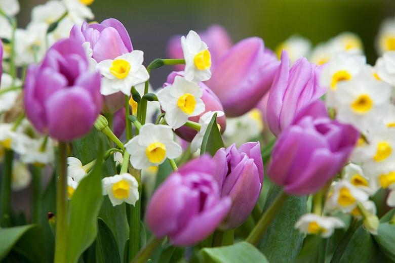 Narcissus 'Avalanche', Daffodil 'Avalanche', Daffodil Seventeen Sisters, Tazetta Daffodil 'Avalanche', Spring Bulbs, Spring Flowers, mid spring bulb, late spring bulb, mid season narcissus, late season narcissus, fragrant daffodil