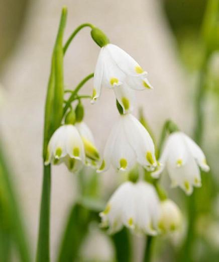 Leucojum vernum, Spring Snowflake, Leucojum, Snowflakes, Early Spring Bulbs, Early Spring Bloom