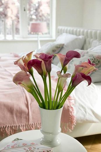 Zantedeschia 'Captain Romance', Calla Lily 'Captain Romance', Arum Lily 'Captain Romance', Calla Lilies, Arum Lilies, Zantedeschia care, pink calla lilies, purple calla lilies