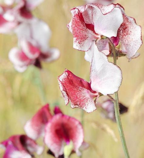 Lathyrus Odoratus 'Crimson Ripple',Sweet Pea 'Crimson Ripple', Bicolor Flowers, Fragrant Flowers, Red Flowers, White Flowers, Annuals, Annual plant, Cut flowers, deer resistant flowers