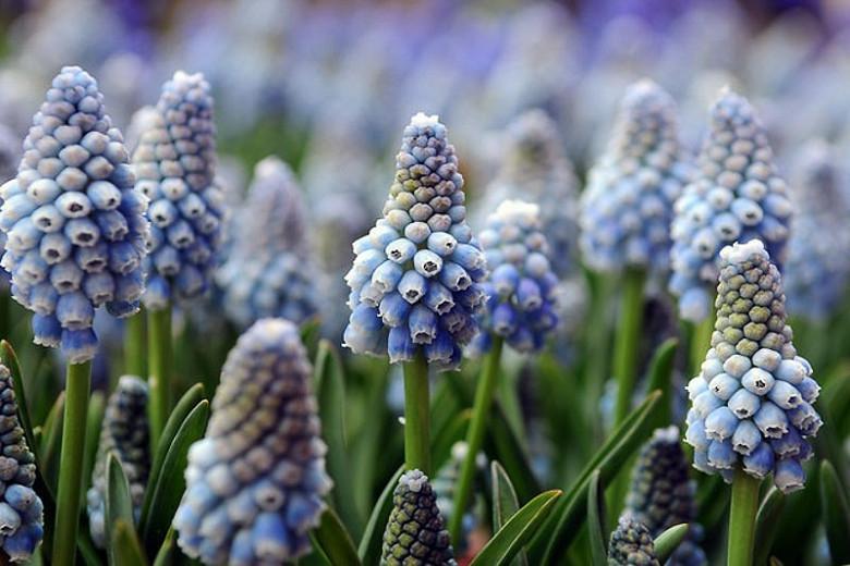 Muscari Aucheri, Muscari Ocean Magic, Grape Hyacinth 'Ocean Magic', Spring Bulbs, Spring Flowers, blue spring bulbs, Blue early spring bulbs, blue mid spring bulbs