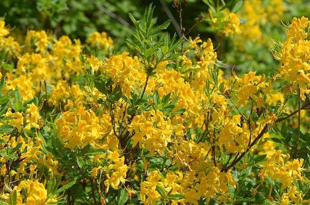 Rhododendron Luteum, Pontic Azalea, Yellow Azalea, Honeysuckle Azalea, Late Midseason Azalea, Midseason Azalea, Fragrant Azalea, Fragrant Rhododendron, Yellow Azalea, Yellow Rhododendron, Yellow Flowering Shrub