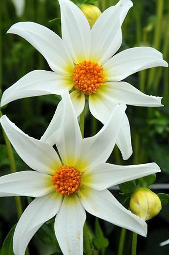 Dahlia Honka White, 'Honka White' Dahlia, Orchid Dahlias, Star Dahlias, Miscellaneous Dahlias, White Dahlia Flowers, Dahlia Tubers, Dahlia Bulbs, Dahlia Flower, Dahlia Flowers, summer bulbs