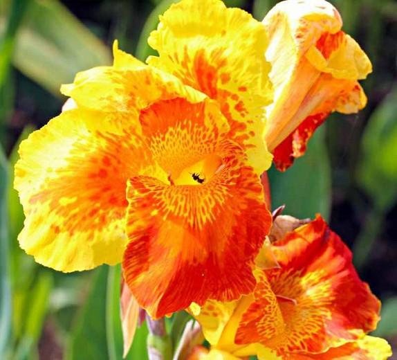 Canna 'Yellow King Humbert', Indian Shot Yellow King Humbert', Cana LilyYellow King Humbert, Canna Lily bulbs, Canna lilies, Yellow Canna Lilies, Orange Canna Lilies, Bicolor Canna lilies
