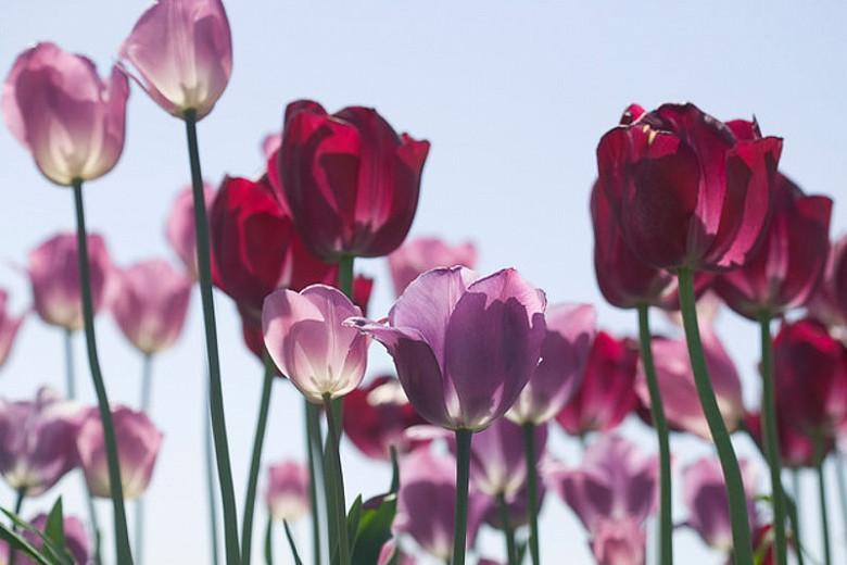 Tulipa 'Violet Beauty', Tulip 'Violet Beauty', Single Late Tulip 'Violet Beauty', Single Late Tulips, Spring Bulbs, Spring Flowers, Tulipe Violet beauty, Purple Tulip, Single Late Tulip