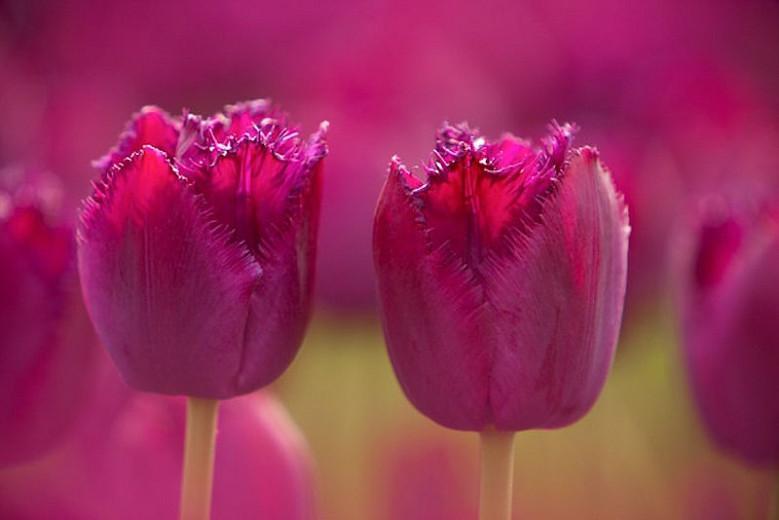 Tulipa Curly Sue, Tulip 'Curly Sue', Fringed Tulip 'Curly Sue', Fringed Tulips, Spring Bulbs, Spring Flowers, Tulipe Curly Sue, purple Tulips, Tulipes Dentelle