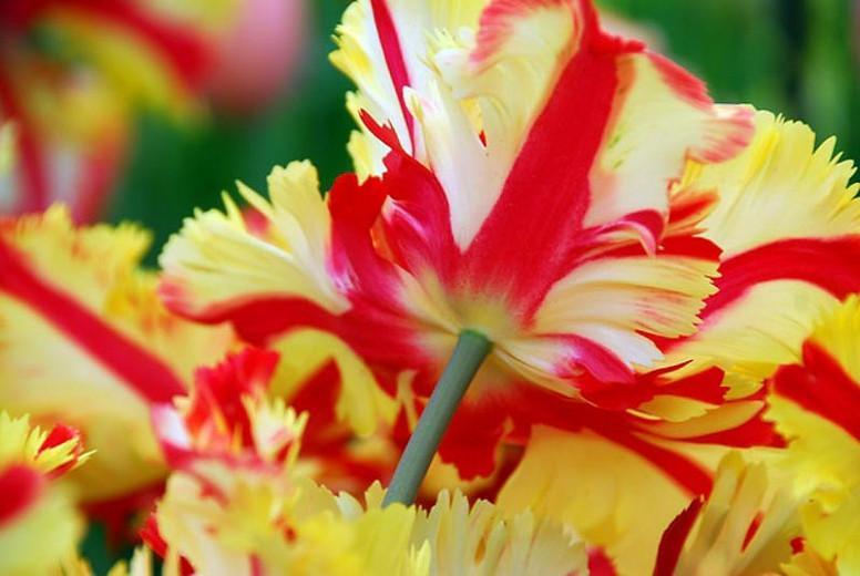 Tulipa 'Flaming Parrot', Tulip 'Flaming Parrot', Parrot Tulip 'Flaming Parrot', Parrot Tulips, Spring Bulbs, Spring Flowers, Tulipe 'Flaming Parrot', Bicolor Parrot Tulips, Late blooming Tulip, Late Season Tulip