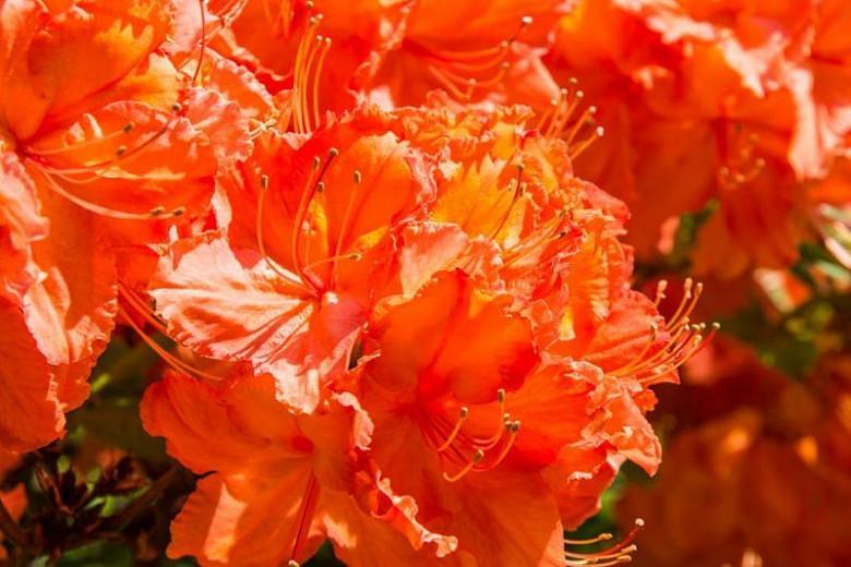 Rhododendron 'Gibraltar', 'Gibraltar' Rhododendron, 'Gibraltar' Azalea, Deciduous Azalea, Midseason Azalea, Knap Hill Azaleas, Exbury Azaleas, Orange Azalea, Orange Rhododendron, Orange Flowering Shrub