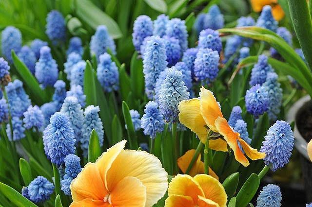 Muscari Azureum, Azure Grape Hyacinth, Pseudomuscari Azureum, Hyacinthus Azureus, Hyacinthella Azurea, Muscari Pseudomuscari, Spring Bulbs, Spring Flowers, mid spring bulb, blue spring flower
