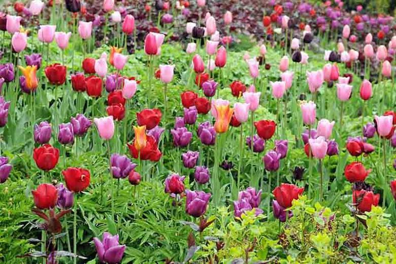 Tulip 'Mistress', Triumph Tulip 'Mistress', Triumph Tulips, Spring Bulbs, Spring Flowers, Tulipa 'Mistress', Pink Tulips, Tulipes Triomphe, Mid spring tulips