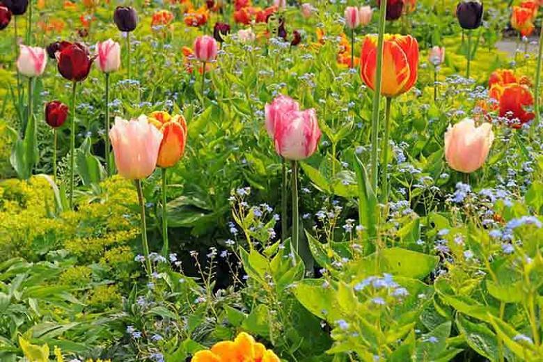 Tulipa Banja Luka, Tulip 'Banja Luka', Darwin Hybrid Tulip 'Banja Luka', Darwin Hybrid Tulips, Spring Bulbs, Spring Flowers,Tulipe Banja Luka, Darwin Tulip, Bicolor Tulip, Tulipe Darwin