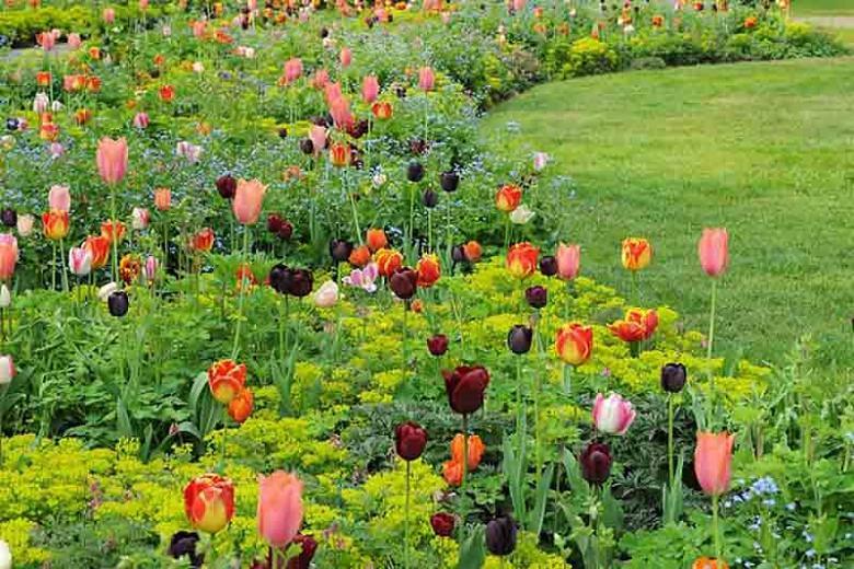 Tulipa 'Bright Parrot', Tulip 'Bright Parrot', Parrot Tulip 'Bright Parrot', Parrot Tulips, Spring Bulbs, Spring Flowers, Tulipe Bright Parrot, Parrot Tulip, Apricot Tulip, Orange Tulip, Tulipe perroquet