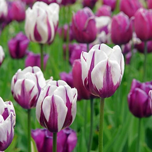 Tulipa Rem's Favorite, Tulip 'Rem's Favorite', Triumph Tulip 'Rem's Favorite', Tulip 'Rem's Favourite', Triumph Tulip 'Rem's Favourite', Tulip 'Zurel', Triumph Tulip 'Zurel', Triumph Tulips, Spring Bulbs, Spring Flowers, Purple Tulips, Bicolor Tulip, Whit
