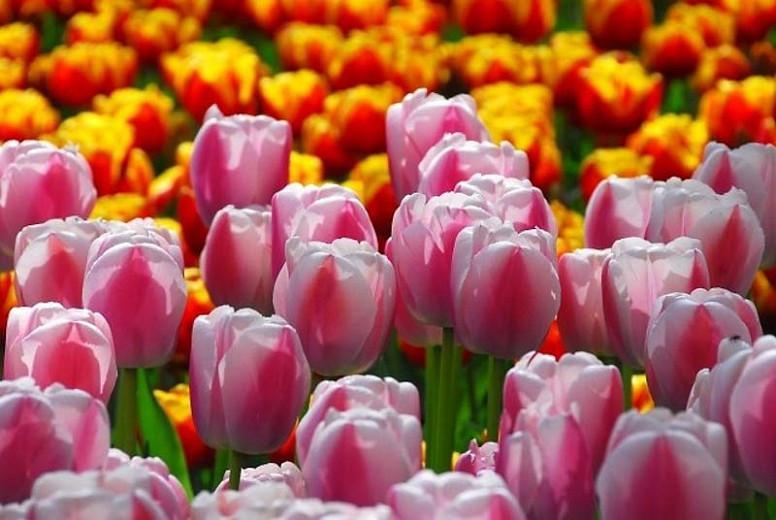 Tulipa Dreaming Maid,Tulip 'Dreaming Maid', Triumph Tulip 'Dreaming Maid', Triumph Tulips, Spring Bulbs, Spring Flowers, Tulipe Dreaming Maid, Pink Tulips, Bicolor Tulips,Tulipes Triomphe, Mid late spring tulips