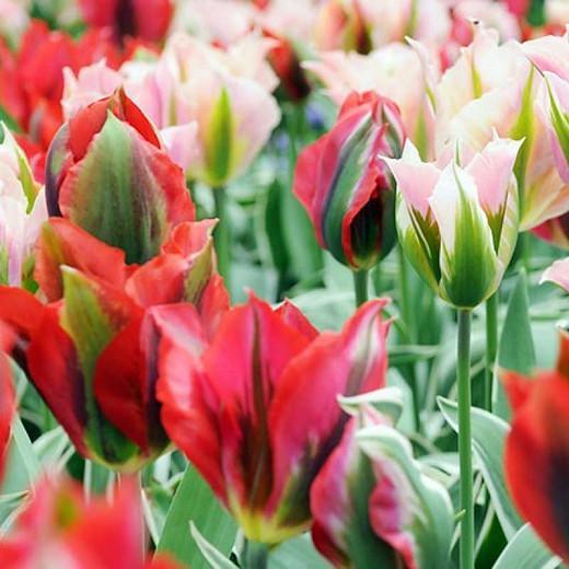Tulipa China Town, Tulip 'China Town', Viridiflora Tulip 'China Town', Viridiflora Tulips, Spring Bulbs, Spring Flowers, Tulipe China Town, Pink tulips, Tulipes Viridiflora