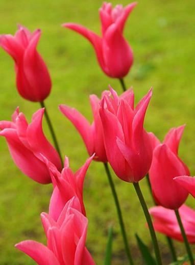Tulipa Jacqueline, Tulip 'Jacqueline', Lily-Flowered Tulip 'Jacqueline', Lily-Flowering Tulip 'Jacqueline', Lily-Flowered Tulips, Spring Bulbs, Spring Flowers, Tulipe Jacqueline,Lily Flowered Tulip, Pink tulip, late season tulip, late spring tulip,mid sea