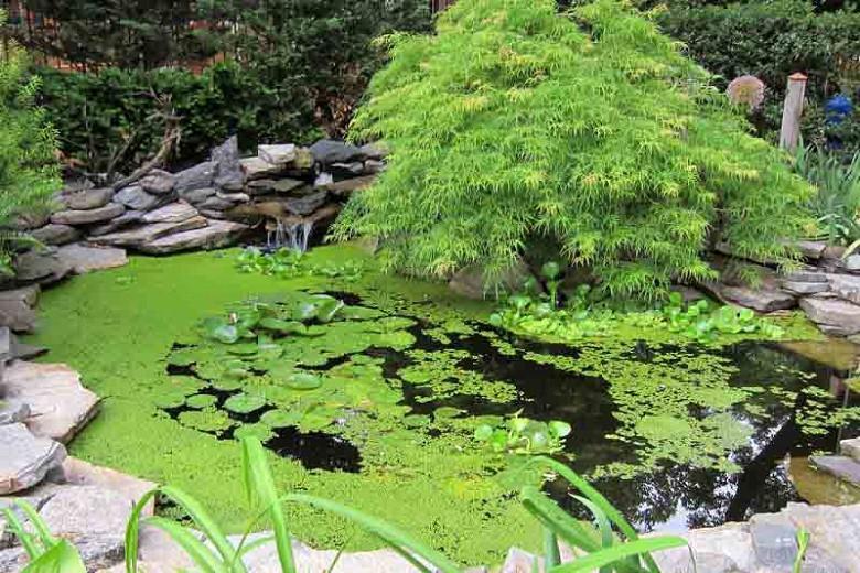 Acer palmatum 'Emerald Lace', Japanese Maple 'Emerald Lace', Laceleaf Japanese Maple 'Emerald Lace', Cutleaf Japanese Maple 'Emerald Lace', Threadleaf Japanese Maple 'Emerald Lace', Tree with fall color, Fall color,