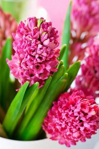 Hyacinthus Orientalis 'Jan Bos', Hyacinth 'Jan Bos', Dutch Hyacinth, Hyacinthus Orientalis, Common Hyacinth, Spring Bulbs, Spring Flowers, pink hyacinth, pink flowers