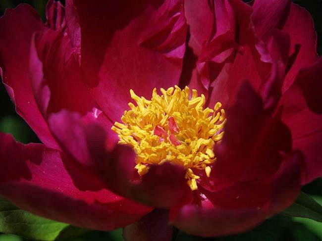 Paeonia Lactiflora 'Topeka Garnet', Peony 'Topeka Garnet', 'Topeka Garnet' Peony, Chinese Peony 'Topeka Garnet', Common Garden Peony 'Topeka Garnet', Red Peonies, Fragrant Peonies