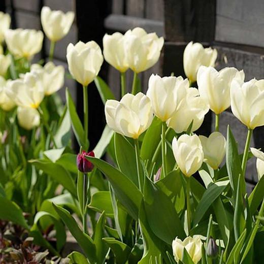 Tulipa 'Maureen', Tulip 'Maureen', Single Late Tulip 'Maureen', Single Late Tulips, Spring Bulbs, Spring Flowers, White tulips, Tulipes Simples Tardives