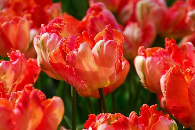 Tulipa Apricot Parrot, Tulip 'Apricot Parrot', Parrot Tulip 'Apricot Parrot', Parrot Tulips, Spring Bulbs, Spring Flowers, Tulipe Apricot Parrot, Parrot Tulip, Apricot Tulip, Tulipe perroquet